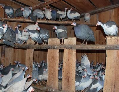 Насесты и помещение для птиц