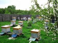 Пчеловодство, чтобы получать деньги